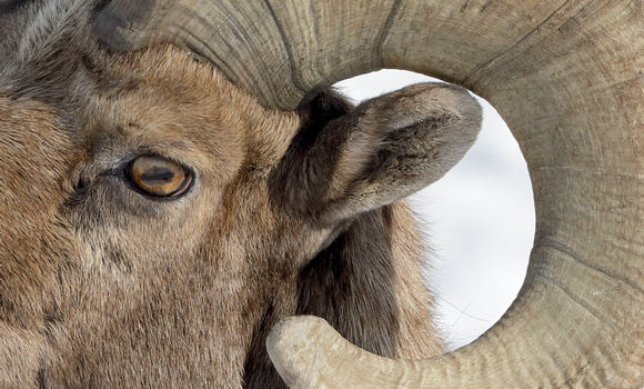 Bighorn sheep male closeup, eastern Washington