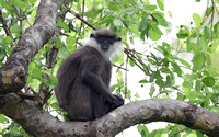 Purple-faced Langur, Sri Lanka