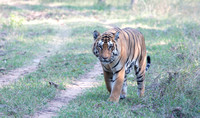 Male tiger, Pench National Park, India