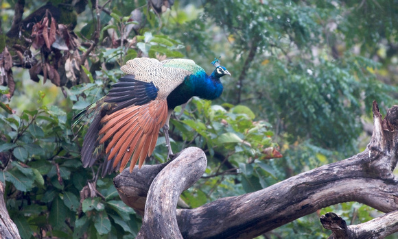Indian Peafowl male, Pench National Park, India