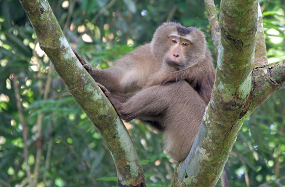 Northern Pig-tailed Macaque (Macaca leonina), Hoollongapar Gibbon Sanctuary, Assam, India