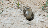 Groundpecker at nest hole, Tso Kar, Ladakh, India