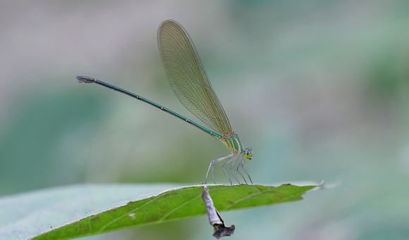 Clear-winged Forest Glory (Vestalis gracilis) damselfly, Kanha National Park, India