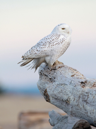 Snowy Owl perched on driftwood, Washington coast