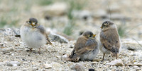 Blanford's Snowfinch fledglings, Tso Kar, Ladakh, India