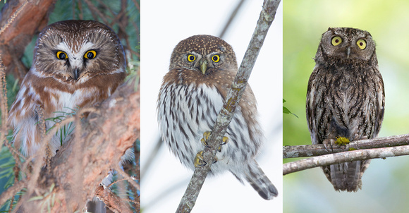 Northern Saw-whet Owl, Northern Pygmy-owl, and Western Screech-owl collage, Washington