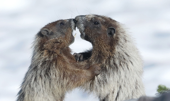 Hoary marmots play fighting, Mt. Rainier National Park, Washington