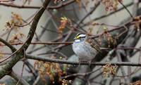 White-throated Sparrow, Connecticut