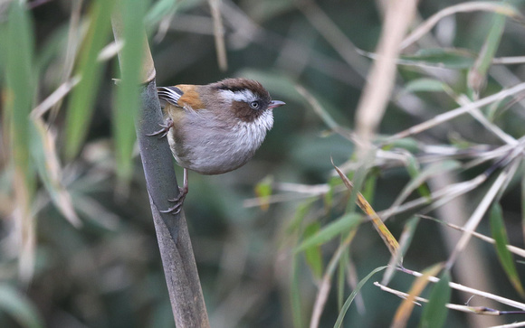 White-browed Fulvetta, Singalila National Park, West Bengal, India