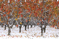 Apple orchard in autumn, eastern Washington