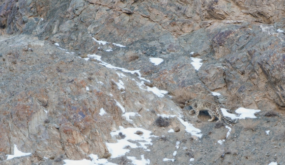 Snow leopard heading upslope, Ladakh,India