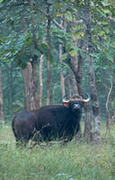 "Gaur male (or ""Indian bison""), Pench National Park, India"