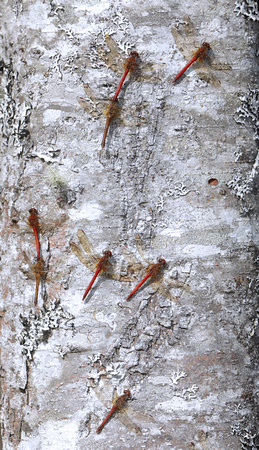 Autumn Meadowhawks (Sympetrum vicinum) perched on red alder trunk, Packwood, Washington