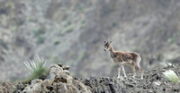 Ladakh urial female, Ladakh, India