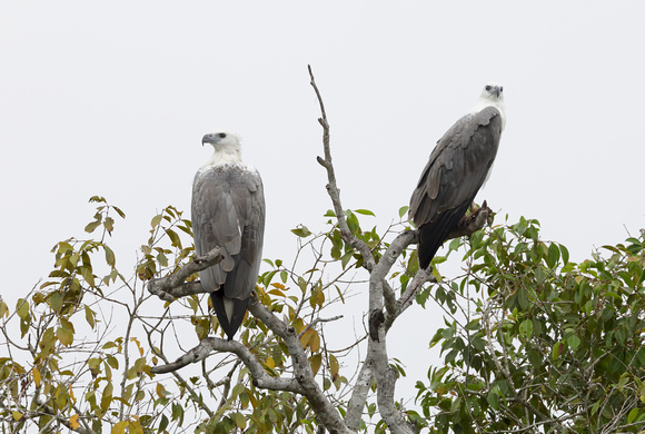 White-bellied Sea Eagles, Wilpattu National Park, Sri Lanka