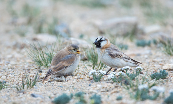 Blanford's (Plain-backed) Snowfinch adult and fledgling, Tso Kar, Ladakh, India