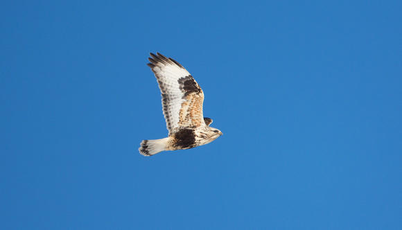 Rough-legged Hawk in flight, Okanogan valley, Washington